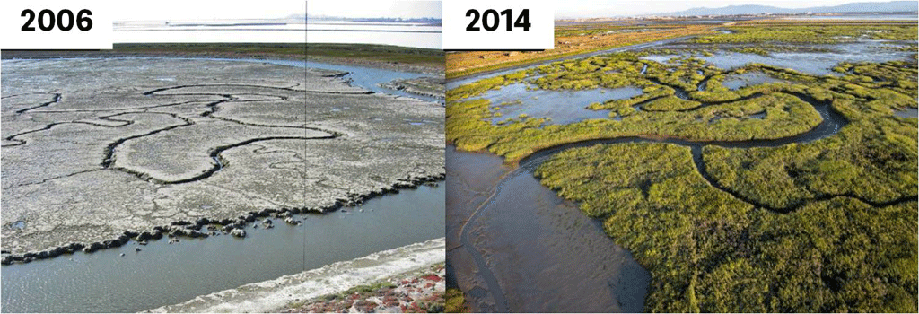 Restored marshes become established over time.